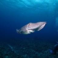 コブシメとダイビング