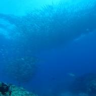 ギンガメアジ 粟国ダイビング